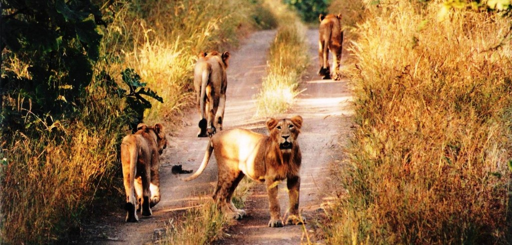 India's Pride - The Asiatic Lions, at Gir!