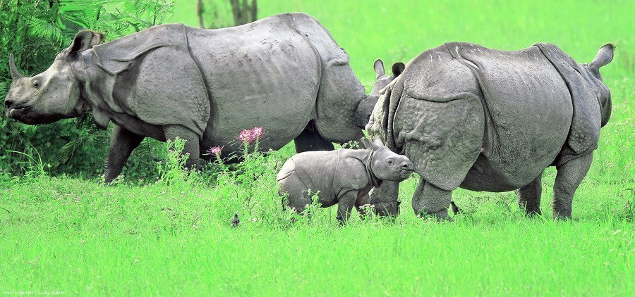 One-horned Rhinoceroses at Kaziranga