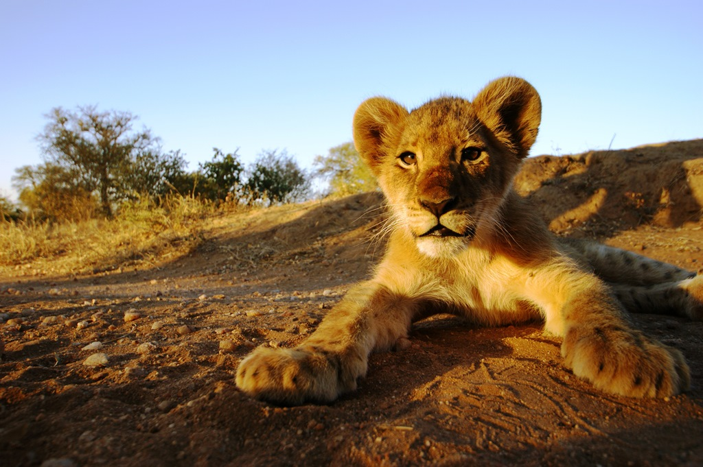A Lion cub at the Kruger National Park