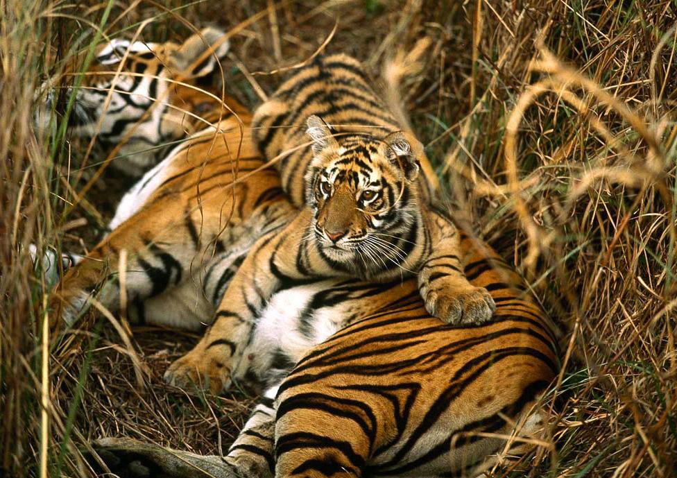 Tigers at Sundarbans Image Credits: thewildlifeofindia.com