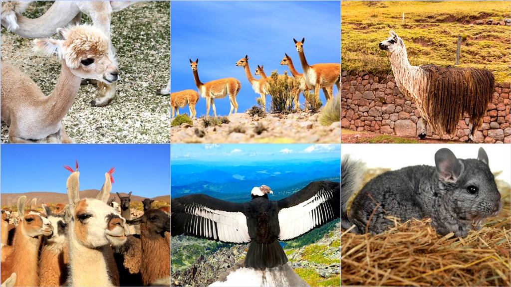 The animal life (Clockwise L-R): Young Alpaca, Guanacos, Vicuna, Chinchillas, Andean Condor, Llamas