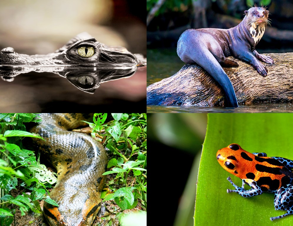 Clockwise (L-R) - Black Caiman, Giant Otter, Poison Dart Frog and Green Anaconda