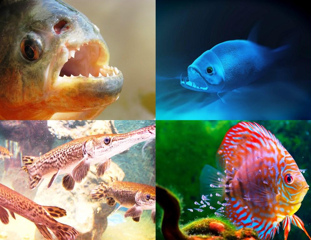 Clockwise (L-R) - Red-bellied Piranha, Payara Fish, Baby Discus, Arapaima