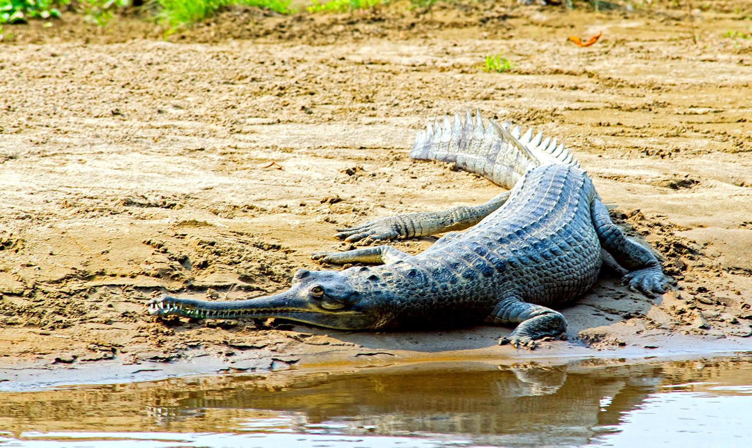 Gharial Image Credits: blog.nepaladvisor.com