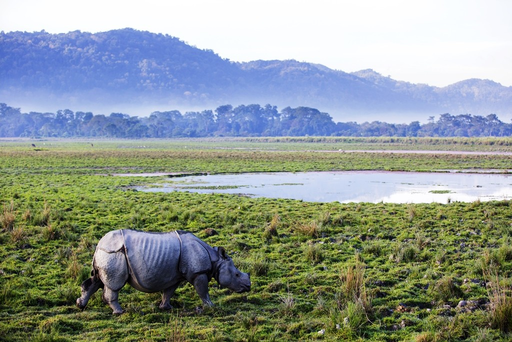 One horned rhino at the Kaziranga National Park
