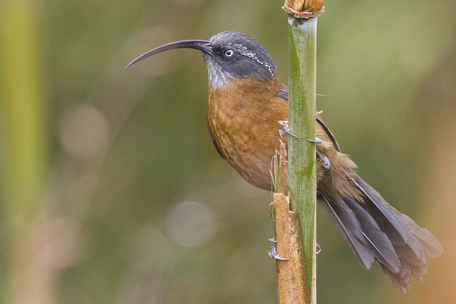 Slender- billed Scimitar Babbler
