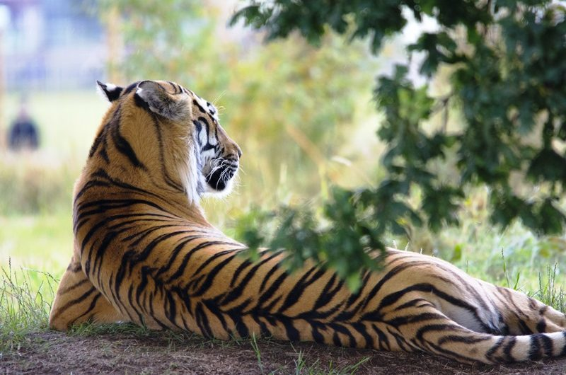 tiger-wildlife-animal-zoo-162332-edited