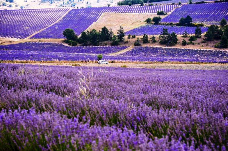 lavender_in_provence